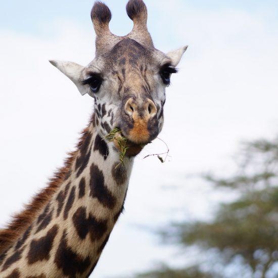 serengeti-girafe
