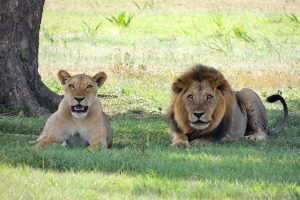 tanzanie-lions