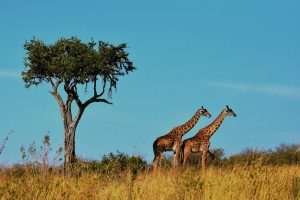 tanzanie-girafe