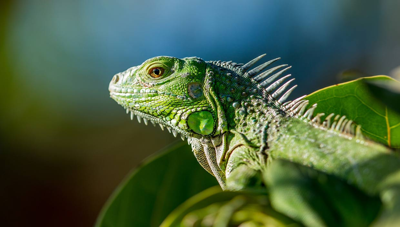 iguane vie sauvage