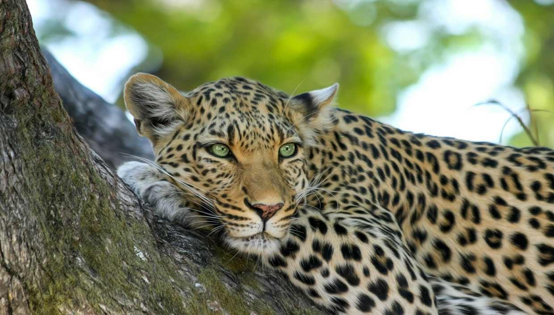 leopard vie sauvage