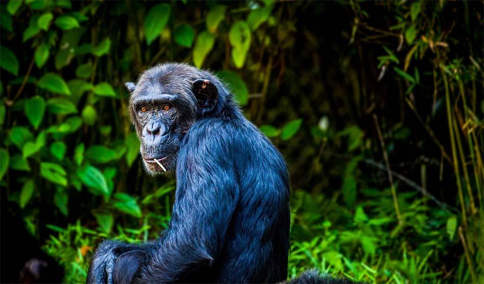 Tanzanie du Sud 9 tanzanie extension chimpanzés mahale1