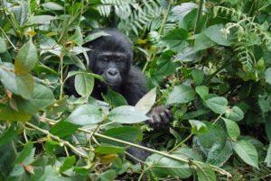 Tanzanie 17 tanzanie ouganda extension bwindi1