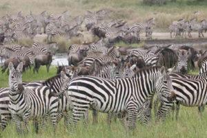Tanzanie 6 tanzanie safari special migration1 1