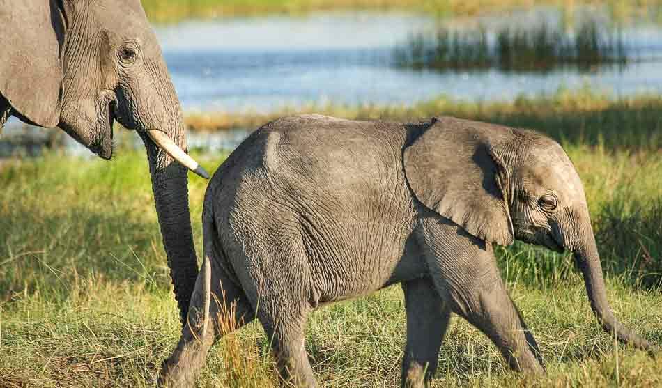 Botswana 3 botswana elephant safari1 1