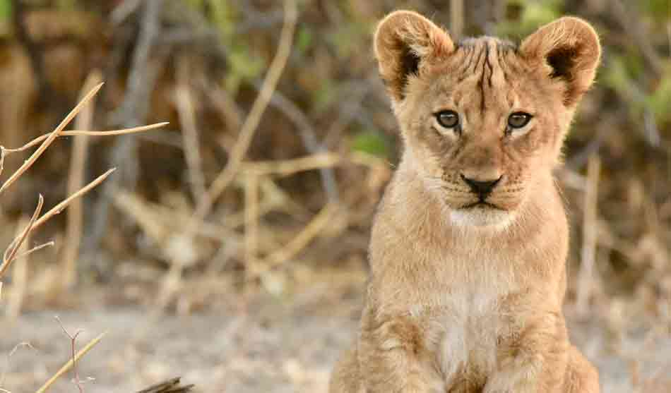 Botswana 11 botswana zimbabwe safari lycaon1 1