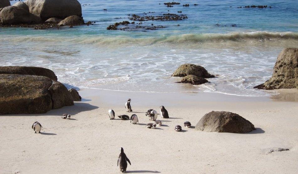 Afrique du Sud 1 manchots péninsule du