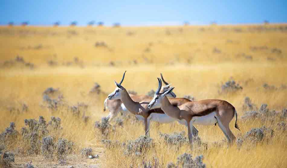 Springbok dans le Désert 12 namibie springbok dans le desert1