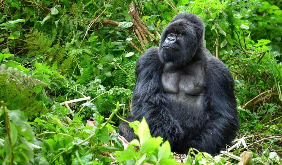 Rwanda 1 rwanda gorilles dans la brume1