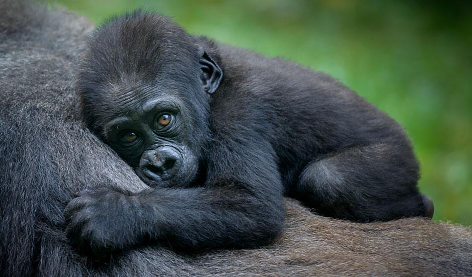 Rwanda 2 rwanda trekking gorilles1 1