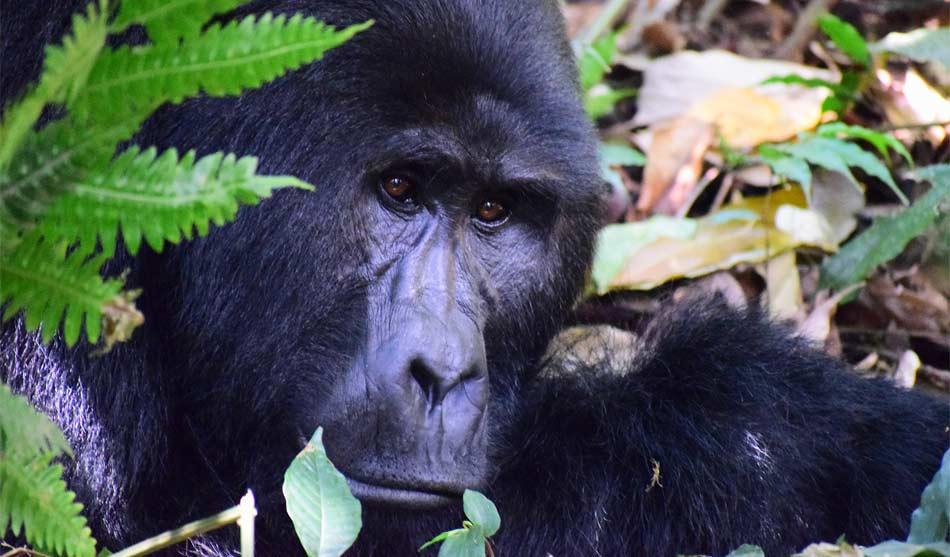 Rwanda 2 rwanda trekking gorilles1
