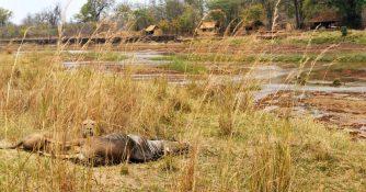 Mwaleshi Camp 8 zambie mwaleshi camp8