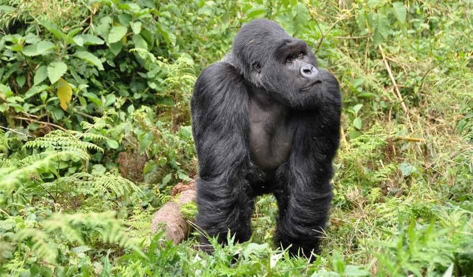 Gorilles dans la brume 13