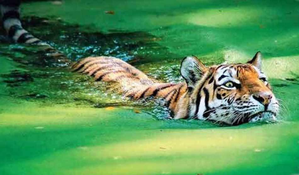 Inde Chat Viverrin et Tigre du Bengale