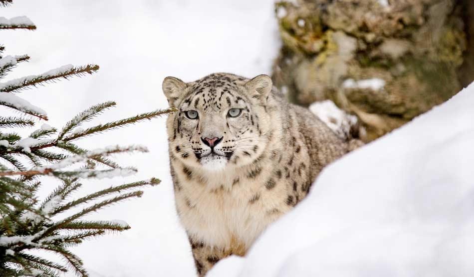 Inde Expédition Leopard des Neiges