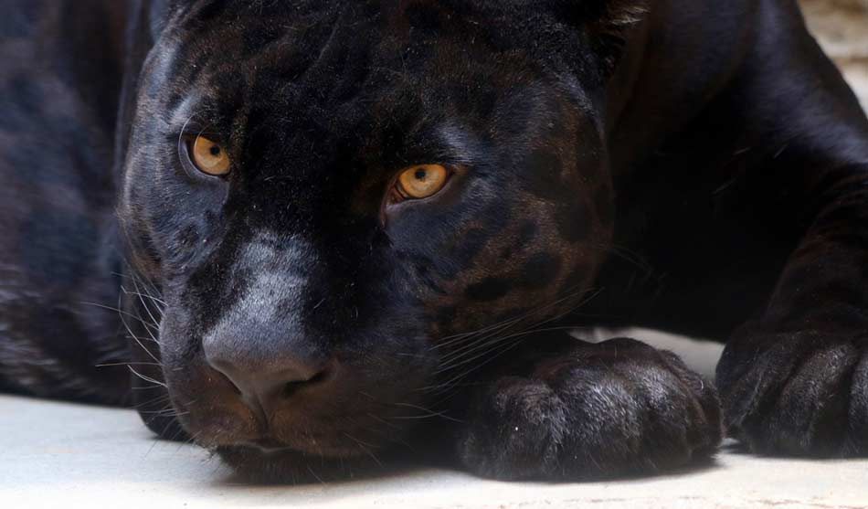 Inde Séjour Panthère Noire