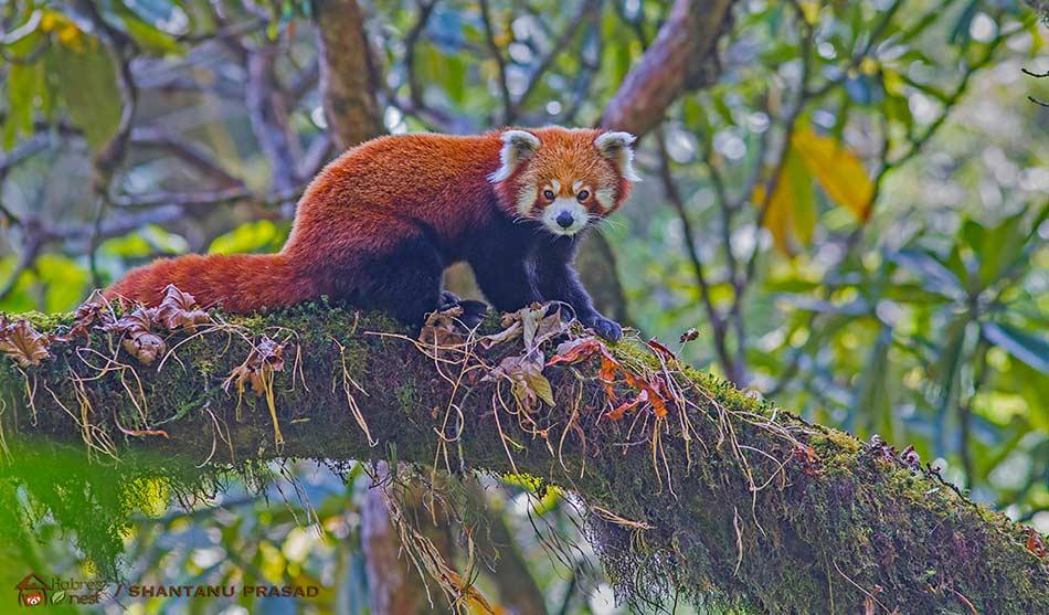 Inde Voyage Panda Roux et Calao