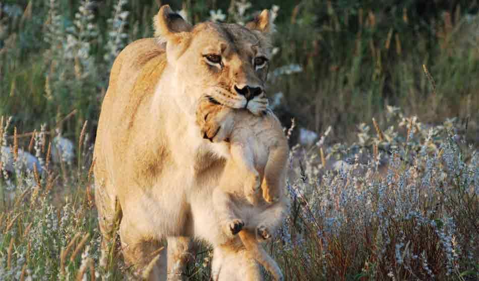 Safari Authentique au Botswana 1