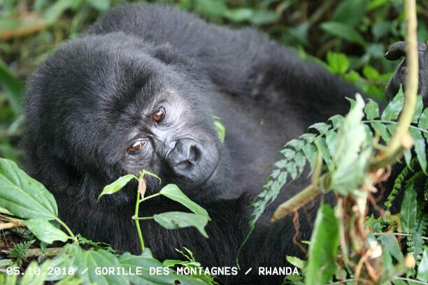 Ambitions et Engagements 4 gorille des montagnes rwanda
