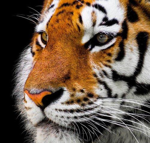 Kerinci, Trek des Tigres 1 INDO SUMATRA TIGREPX 2