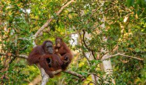 Indonésie 1 sumatra grandeur nature1