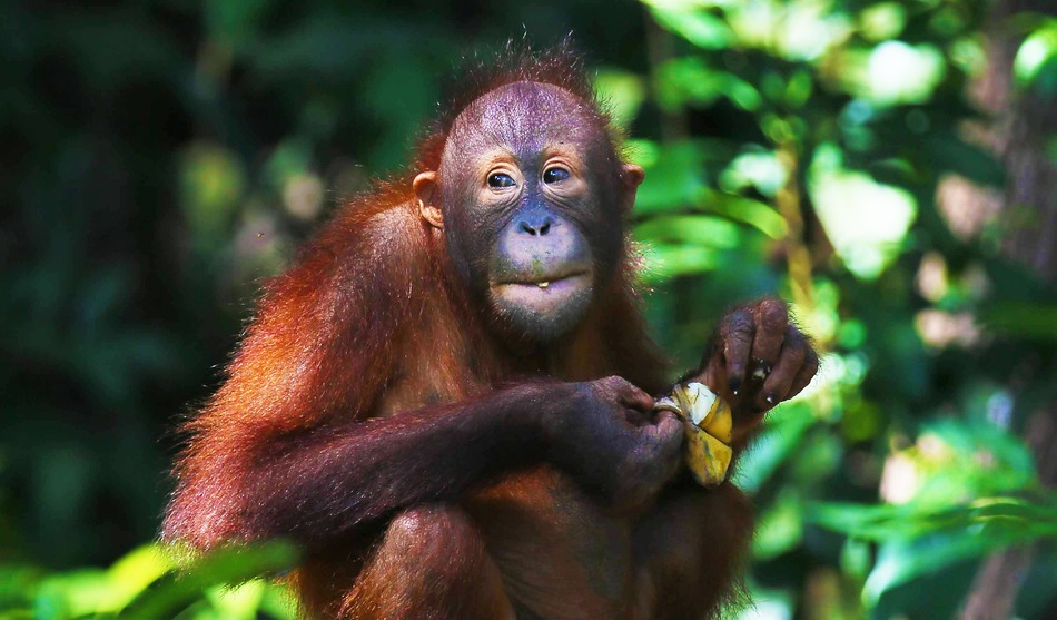Sumatra, trek des Orang Outans par Ketambe 2 sumatra grandeur nature2.1 2