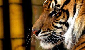 Indonésie 3 sumatra kerinci trek des tigres1 1