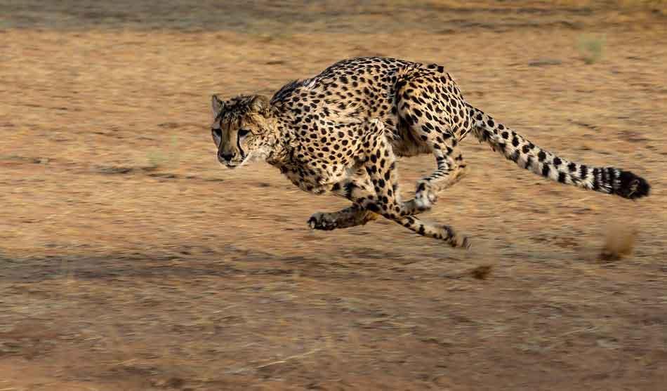 Namibie 3 namibie lions du kalahari1